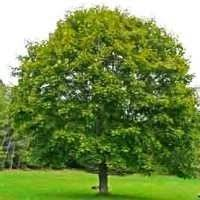 Backyard Trees For Shade - best 25 trees to plant ideas on pinterest landscaping trees