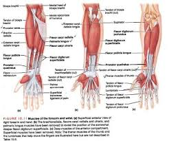 muscles of the forearm quiz prephockey org
