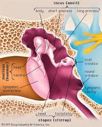 Outside Ear Anatomy Ear Bone Anatomy Britannica Com