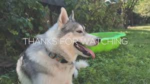 living with two siberian husky vlog1 youtube