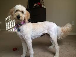how to cut a goldendoodles hair luna s 9 month hair cut goldendoodle terry farm