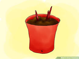 how to grow caladiums 8 steps with pictures wikihow