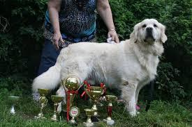 Comfort Retriever Puppies For Sale Golden Retriever Puppies Ca