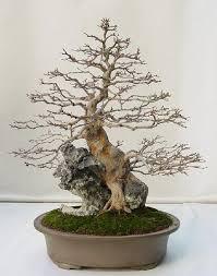 2121 best bonsai images on bonsai bonsai trees and