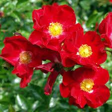 roses online scarlet flower carpet clarenbridge garden centre