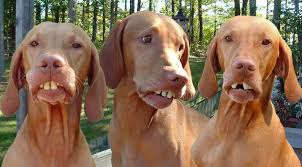 Big Teeth Meme - dogs with big teeth really funny pictures collection on picshag com