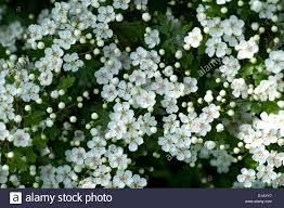 native hedging plants uk hawthorn or may blossom crataegus monogyna prolific white