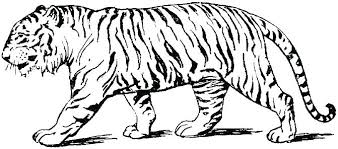 snow tiger coloring page tiger coloring pages to print 18666