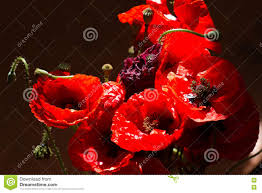 bouquet poppies red flowers sign of world remembrance day stock