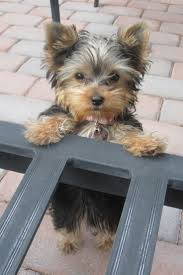 best 25 yorkshire puppies ideas on pinterest yorkshire terrier