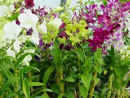 Dendrobium Orchid Cultivation Of Dendrobium Orchids Home Gardening Ph