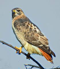 adultred tailedhawk1
