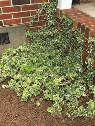 Non Invasive Climbing Plants - different types of climbing plants and how to train them
