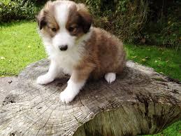 australian shepherd x border collie sheltie x border collie puppies llanwrda carmarthenshire