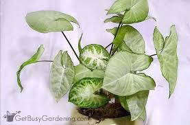 houseplants that need little light arrowhead vines are good houseplants that need very little light