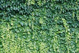 natural background from climbing plants stock photo picture and