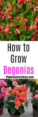 how to grow begonias plant instructions
