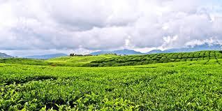 Teh Kayu Aro perkebunan teh tertua di nusantara