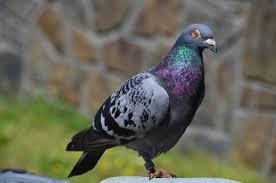 cuisine des pigeons voyageurs assistance médicale pour un pigeon voyageur irlandais
