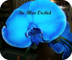 blue orchid flower growing and caring for the blue mystique orchid dengarden