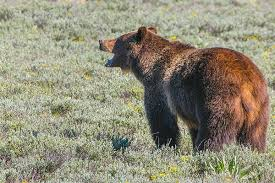 Bears Montana Hunting And Fishing - wyoming grizzly hunt to target conflict areas