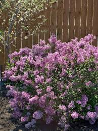 Shrub With Fragrant Purple Flowers - 36 best shrubs sun images on pinterest shrubs bright green and