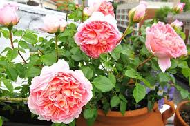 Fragrant Flowers For Garden - top fragrant flowers and shrubs for your garden