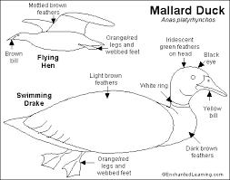 mallard duck printout enchantedlearning