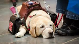 a step by step guide to becoming a service dog rover com