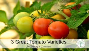 Container Gardening For Food - 3 great tomato varieties for container gardening
