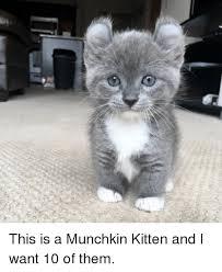 Kittens Memes - 25 best memes about munchkin kitten munchkin kitten memes