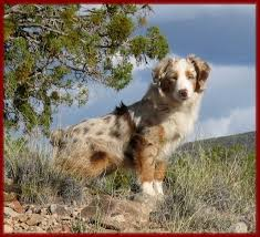 australian shepherd miniature home