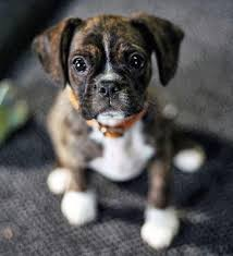 boxer dog origin miniature boxer