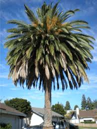 sell my palm tree homeowners sell your palm trees