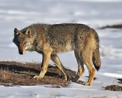 wolf meaning and interpretations