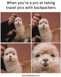 Alpaca Meme - sta travel the sweetest selfie the smiliest alpaca facebook