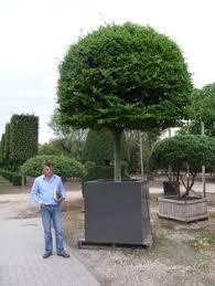 espalier magnolia trees magnolia gem espalier 25 gallon