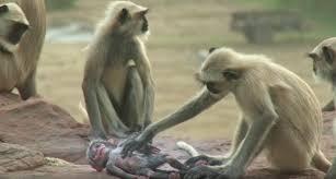 monkeys grieve over dead robotic monkey in bbc one u0027s spy in the