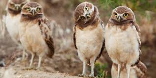 What Does A Barn Owl Look Like Burrowing Owl Basic Facts About Burrowing Owls Defenders Of