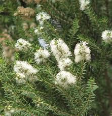 australian native hedging plants melaleuca lanceolata wikipedia