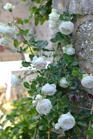 65 best climbing roses flowers images on pinterest climbing