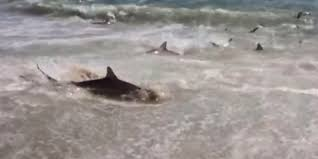 shark feeding frenzy caught on video at cape lookout north