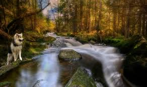 wallpapers husky dogs norway ostfold hdri nature autumn forests moss