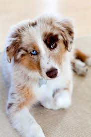 australian shepherd eye color genetics 68 best heterochromia different colored eyes images on pinterest