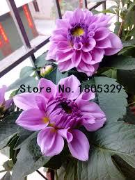 dalia in vaso il rosso semi di dalia vaso di fiori e 100 semi molti fai da te
