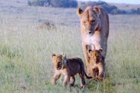 disney u0027s african cats video summer setting