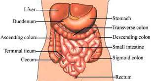 Anatomy Of Stomach And Intestines Viscer Viscero Visceri Visc Word Information