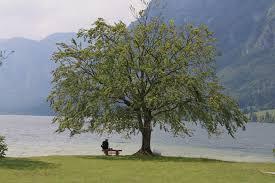 file bohinj lake tree jpg wikimedia commons