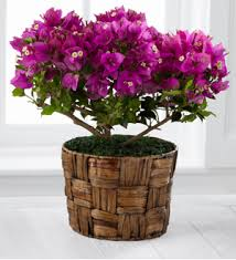artistic flowers the ftd flowering fuchsia bougainvillea plant by