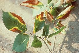 Plant Diseases Caused By Microorganisms - bacterial leaf scorch bls of shade trees